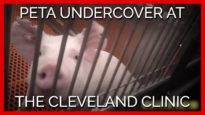 PETA Undercover at the Cleveland Clinic: Skulls Cut Open, Prolapsed Organs