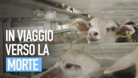 RAMADAN: migliaia di agnelli inviati dalla Spagna all'Arabia Saudita