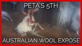 BREAKING: PETA's 5th Australian Wool Exposé—Does It Look Like the Industry Has Changed One Bit?