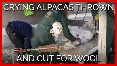 Crying Alpacas Thrown and Cut for Sweaters and Scarves—Help Them Now!