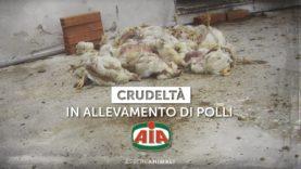 Il crudele trattamento dei polli venduti a marchio AIA – Indagine di Essere Animali