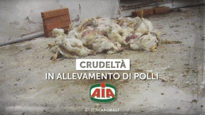 Il crudele trattamento dei polli venduti a marchio AIA - Indagine di Essere Animali