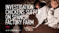 INVESTIGATION: Chickens Suffer on Spanish Factory Farm