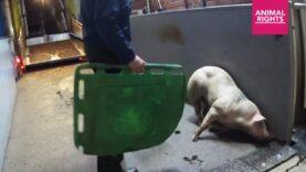 Opnieuw gruwelijke beelden uit een Vlaams slachthuis | Stop de Slacht | Animal Rights