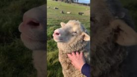 The cutest sheep video ever – Babybelle