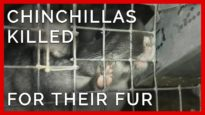 This Chinchilla and More are Killed for Fur