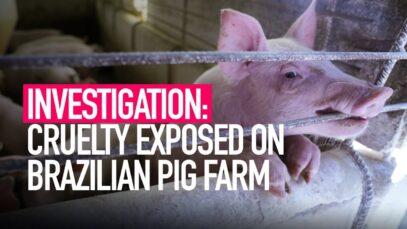 INVESTIGATION: Animal Equality Reveals Cruelty on Brazilian Pig Farm