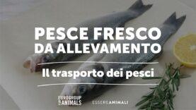 Pesce fresco da allevamento intensivo | Il trasporto dei pesci