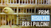 Pulcini maschi negli incubatoi: primi risultati, sì di Coop alla campagna di Animal Equality
