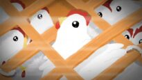 The Life of Chickens Raised For Meat