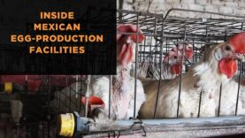 """Undercover Investigation Exposes """"Flu"""" Among Birds and Filthy, Cruel Conditions"""
