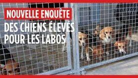 Des chiens élevés pour des laboratoires
