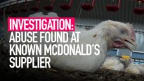 INVESTIGATION: Abuse Found At Known Mcdonald's Supplier