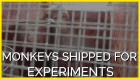 This Airline Reportedly Ships Monkeys to Be Experimented on and Killed