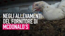 VIDEO CHOC negli allevamenti del fornitore di McDonald's!