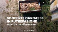 Carcasse in putrefazione all'esterno di un allevamento di maiali - Essere Animali