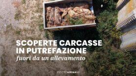 Carcasse in putrefazione all'esterno di un allevamento di maiali – Essere Animali