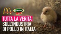 Da Amadori a McDonald's: tutta la verità sull'industria di pollo in Italia