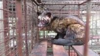 How Civets Suffer for Tourists' Coffee in Bali