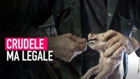 Le crudeli pratiche dell'industria alimentare legali nel nostro paese