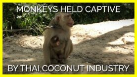 Monkey Forced to Nurse Her Baby While Tied to a Tree in Coconut Labor Industry