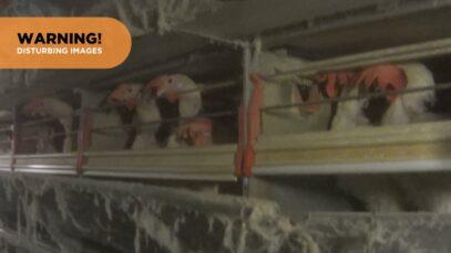 Undercover Investigator Reveals Life Inside an Egg Farm
