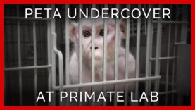 Workers Electroshock Monkey Penises in Depraved Lab | PETA Investigates