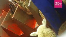 De beelden van slachter Moerbeko | Stop de Slacht | Animal Rights