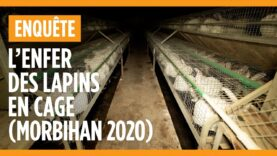 Enquête dans un élevage de lapins du Morbihan