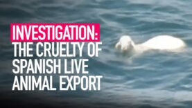 INVESTIGATION: The Cruelty of Spanish Animal Export Exposed