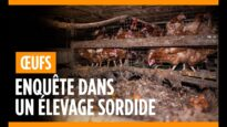 Le calvaire pour 200 000 poules pondeuses dans un élevage de l'Oise !