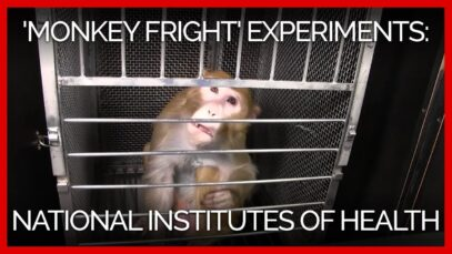 'Monkey Fright' Experiments at the National Institutes of Health: A PETA Investigation