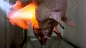 Pig burned alive in slaughterhouse