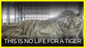 This is No Life for a Tiger