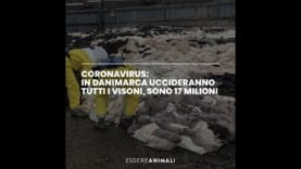 Coronavirus: in Danimarca uccideranno tutti i visoni, sono 17 milioni