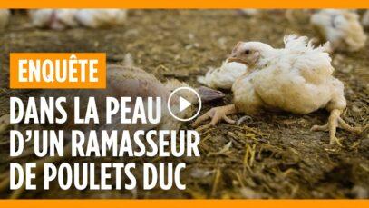 DANS LA PEAU D'UN RAMASSEUR DE POULETS DUC