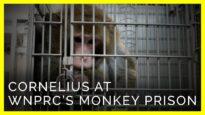 Heartbreaking Newly-Released Footage From Inside WNPRC's Monkey Prison