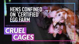 INVESTIGATION: Baby Chicks Cruelly Caged on British Egg Farm