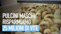 Come risparmiare la sofferenza di 25 milioni di pulcini maschi nell'industria delle uova