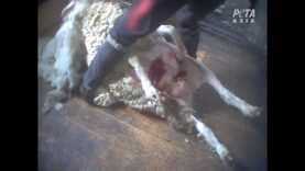 Horrific Footage Reveals Sheep Are Still Being Kicked, Beaten, and Wounded for Wool: A PETA Exposé