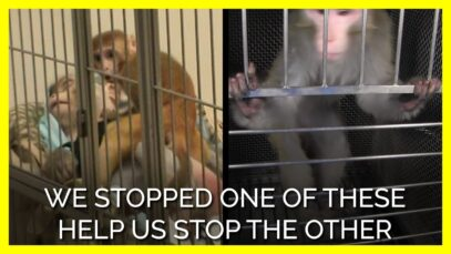 PETA Uncovers More Monkey Terror Experiments at NIMH