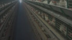 Undercover Investigation in Brazil Reveals Chickens Suffering in Cages