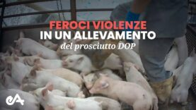 Feroci violenze in un allevamento del Prosciutto DOP - Essere Animali
