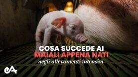 Cosa succede ai maiali appena nati negli allevamenti intensivi | immagini di Essere Animali