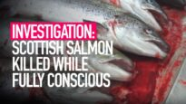 INVESTIGATION: Fish Killed While Fully Conscious in Scottish Salmon Slaughterhouse