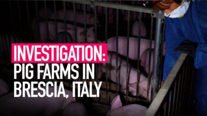 INVESTIGATION: Mistreatment on Italy's Pig Farms Revealed