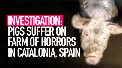 INVESTIGATION: Pigs Suffer on Farm of Horrors in Catalonia, Spain
