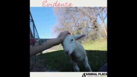 Lamb wants attention like a puppy
