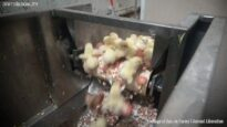 Chick Culling – Egg Industry