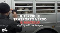 Il terribile trasporto verso il macello degli agnelli per Pasqua: la nostra nuova indagine